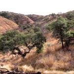 Oak savanna, Rancho El Aribabi - J. Rorabaugh