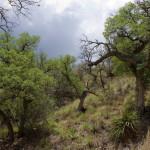 Oak woodland, Sierra Azul - J. Rorabaugh