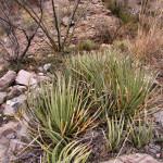 Agave schottii, Sierra Azul, Rancho El Aribabi