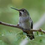 Annas hummingbird, Rancho Aribabi  - J. Rorabaugh