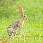 Antelope jackrabbit, Rancho El Aribabi - J. Rorabaugh