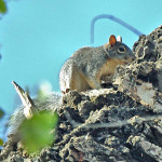 Arizona Tree squirrel, Rancho Aribabi - J. Rorabaugh
