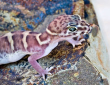 Banded gecko (port) El Aribabi  - J. Rorabaugh