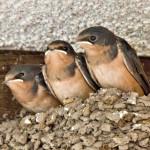 Barn swallows in nest, Rancho El Aribabi - J. Rorabaugh