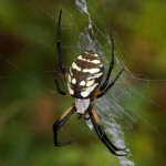 Black and yellow garden spider, Rancho Aribabi - J. Rorabaugh
