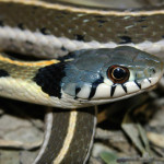 Black-necked gartersnake (port), Rancho Aribabi - J. Rorabaugh