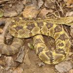 Black-tailed rattlesnake, Rio Cocospera2, Son - J. Rorabaugh