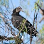 Black vulture, Gardner Cyn Rd, AZ  - J. Rorabaugh