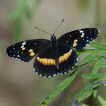 Bordered patch, Rancho Aribabi - J. Rorabaugh