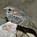 Buff-collared nightjar, Sierra Aconchi, Son - J. Rorabaugh