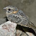 Buff-collared nightjar, Sierra Aconchi, Son - J. Rorabaugh