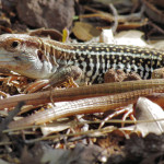 Canyon Spotted Whiptail, Sierra Azul - J. Rorabaugh