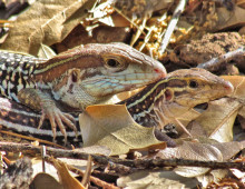 Canyon Spotted Whiptails, Sierra Azul  - J. Rorabaugh