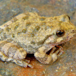 Canyon treefrog, Rancho el Aribabi - J. Rorabaugh