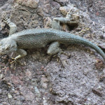 Clark's Spiny Lizard, Rio Cocospera - J. Rorabaugh