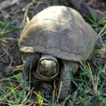 Desert box turtle, Rancho Aribabi - J. Rorabaugh