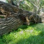 Downed cottonwood, Rancho Aribabi cienega - J. Rorabaugh