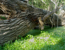 Downed cottonwood, Rancho Aribabi cienega - J. Rorabaugh