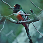 Elegant Trogon, male - J. Rorabaugh