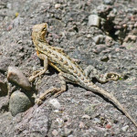 Elegant earless lizard, Rio Cocospera - J. Rorabaugh