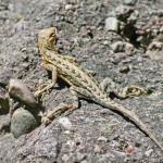 Elegant earless lizard, Rio Cocospera - J. Rorabaugh