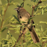 Five-striped Sparrow, Rancho El Aribabi - J. Rorabaugh