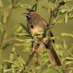Five-striped Sparrow, Rancho El Aribabi - J. Rorabaugh