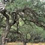 Giant mesquites, Rio Cocospera, Rancho El Aribabi, Son - J. Rorabaugh