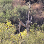 Great blue heron atop Saguaro skeleton, Rancho El Aribabi - J. Rorabaugh