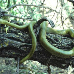 Green rat snake  Rancho el Aribabi - J. Rorabaugh