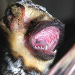 Hoary bat, Rancho Aribabi