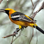 Hooded oriole, male, Phoenix, AZ - J. Rorabaugh
