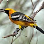 Hooded oriole, male, Phoenix, AZ - J. Rorabaugh