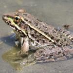 Lowland Leopard Frog, cattle tank, Sierra Azul - J. Rorabaugh