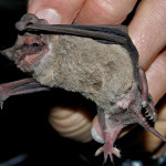 MEXICAN FREETAILED BAT, RANCHO ARIBABI - J. Rorabaugh