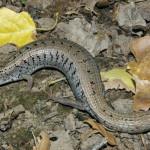 Madrean alligator lizard, Rio Cocospera - J. Rorabaugh