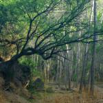 Mesquite and cottonwoods, Rio Cocospera- J. Rorabaugh