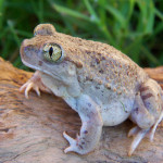 Mexican spadefoot, Ranch Aribabi, Son - J. Rorabaugh