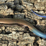 Mountain skink, Rancho el Aribabi - J. Rorabaugh
