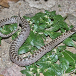 Night snake, Rancho Aribabi  - J. Rorabaugh