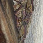 Pallid bats, night roosting, Rancho El Aribabi  - J. Rorabaugh