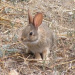 Rabbit at Rancho el Aribabi - Carlos R. Elias