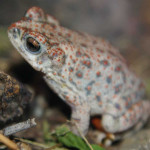Red spotted toad, Rancho Aribabi, Sonora - J. Rorabaugh