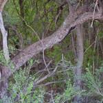 Riparian thicket, Rio Cocospera, Rancho El Aribabi - J. Rorabaugh
