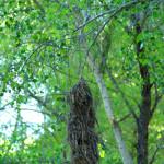 Rose-throated becard nest, Rio Cocospera - J. Rorabaugh