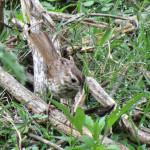 Song Sparrow, Rio Cocospera - J. Rorabaugh