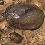 Sonoran Mud Turtles, Cyn in Sierra Azul - J. Rorabaugh
