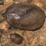 Sonoran Mud Turtles, Cyn in Sierra Azul - J. Rorabaugh