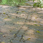 Sonoran mud turtle tracks, Rio Cocospera - J. Rorabaugh