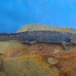 Tarahumara Salamander (near metamorph) Rancho Aribabi, Son - J. Rorabaugh